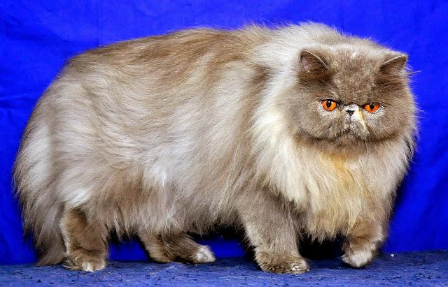 Cara Memelihara Kucing persia (Tips Merawat Rambut Kucing Persia)