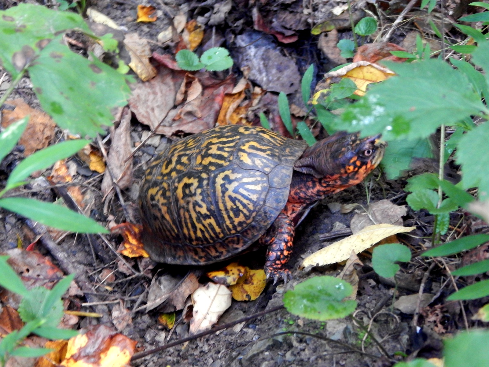 Why my red-hooded turtle closed her eyes and swims with her eyes closed opens her mouth and squeaks 69
