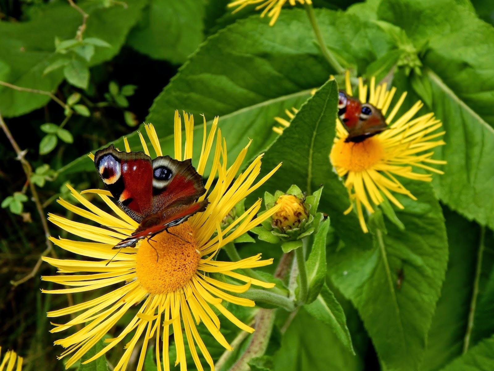 Schmetterlinge im veganen Garten