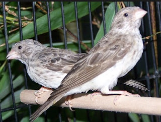 3 Perbedaan Dari Burung Sanger Jantan Dan Juga Betina Paling Akurat