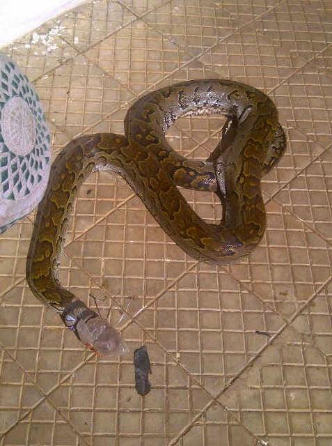 python snake uniabuja
