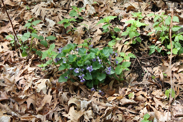Violets popping up from the forest floor.