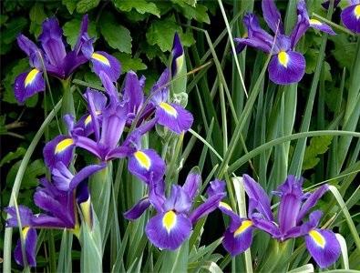 Первоцветы луковичные ирисы