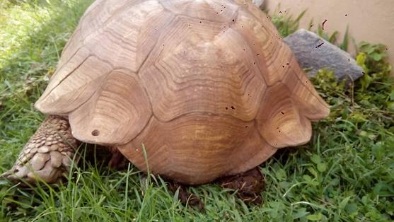 history of ogbomoso tortoise