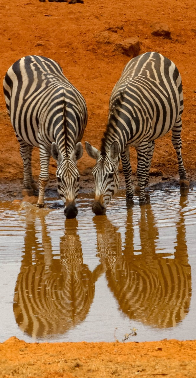 Zebra's drinking from a water hole.