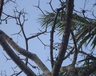 Pohon Kedondong Meranggas