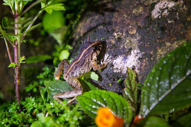 Una rana en el Heliconias Lodge en Bijagua