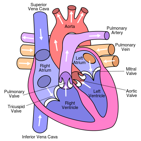 HOW DOES THE HEART WORK?