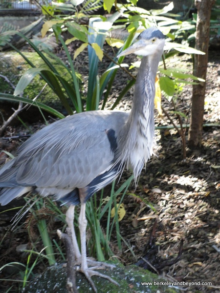 great blue heron at CuriOdyssey in San Mateo, California