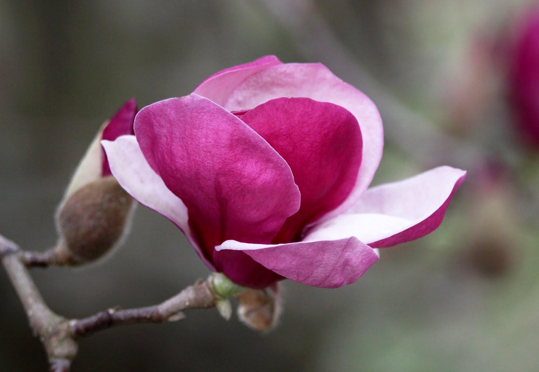 Southern Lagniappe: Pink Magnolias