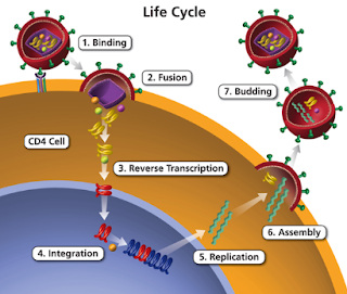 Life Cycle of HIV