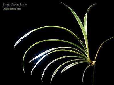 Planta Aranha - Chlorophytum comosum