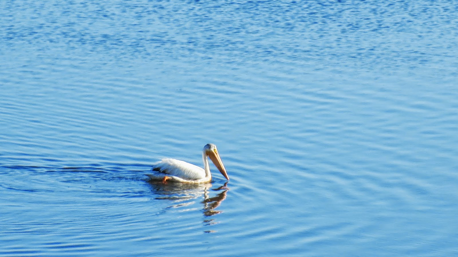 Pelican in Shoreline Park in Mountain View, California