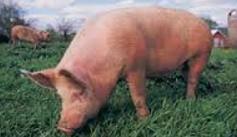 सूअर से दुरी बनाये