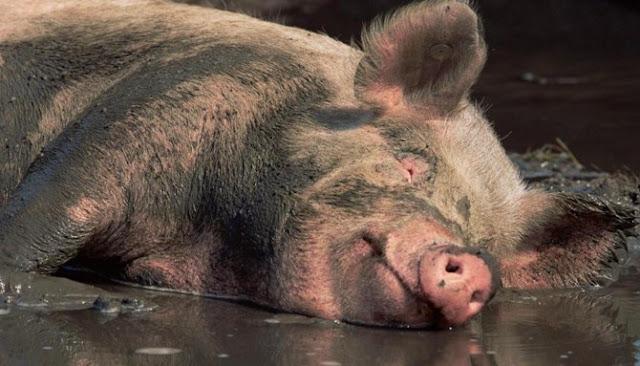 Sepuluh Alasan Ilmiah Mengapa Babi Sebaiknya Tidak Dikonsumsi