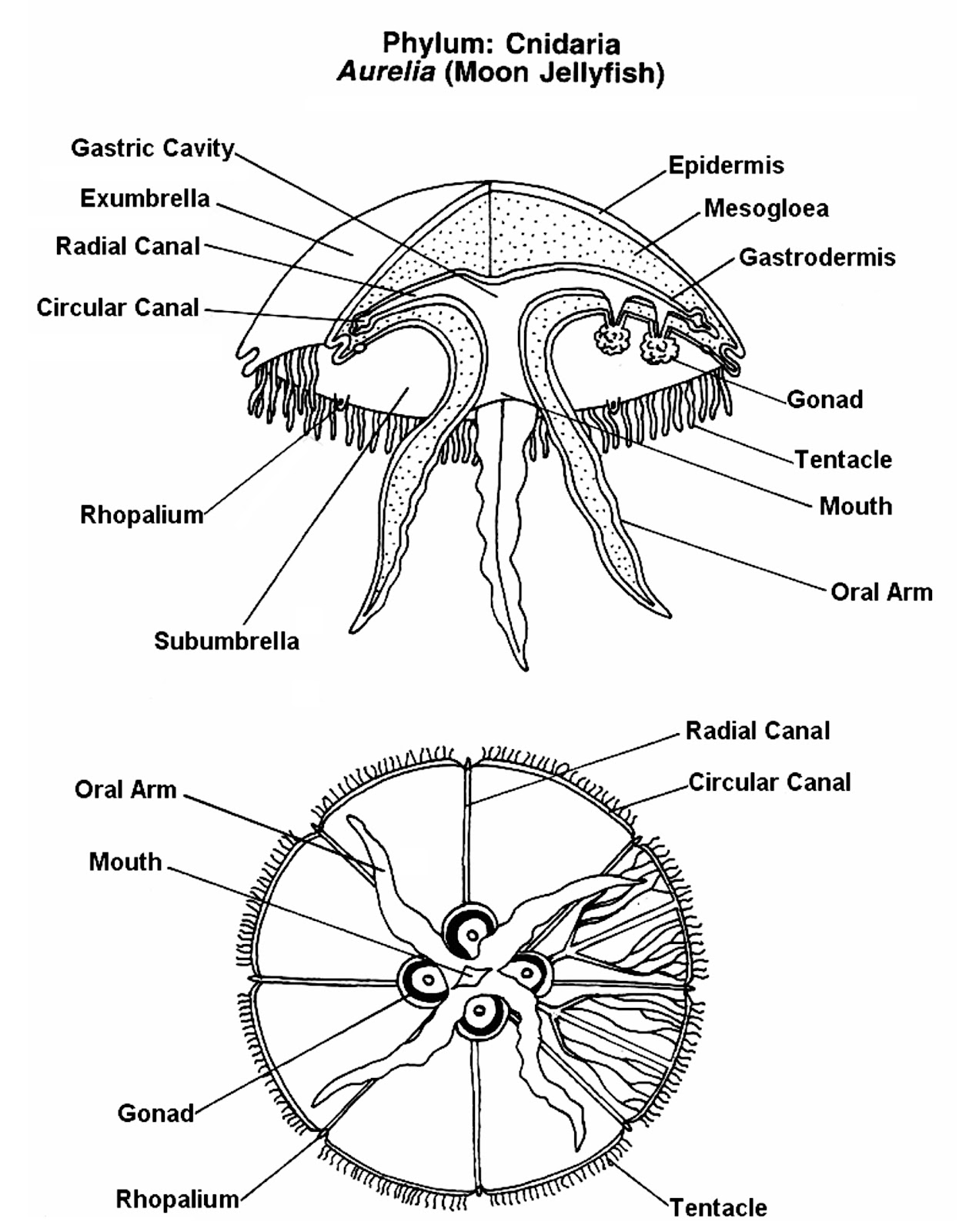 Starfish Internal Anatomy Diagram