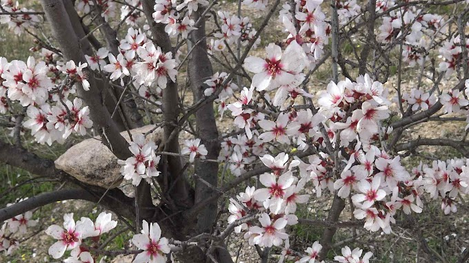 Prunus Amygdalus Var. Amara