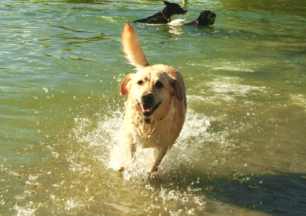 close up of cabana joyfully bounding toward the camera with her mouth open in a smile, tail high in the air, splashes in water