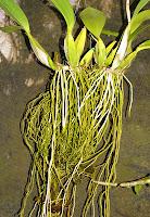 Hasil gambar untuk akar anggrek kalajengking