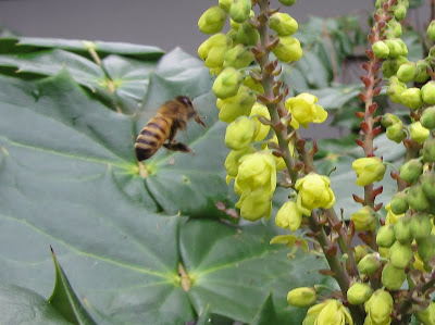 bee, bee cozy, beekeeping, climate, foraging, mahonia, rosemary, split, swarm control,