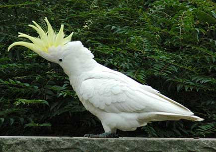 Beautiful Cockatoo Facts & Info 3