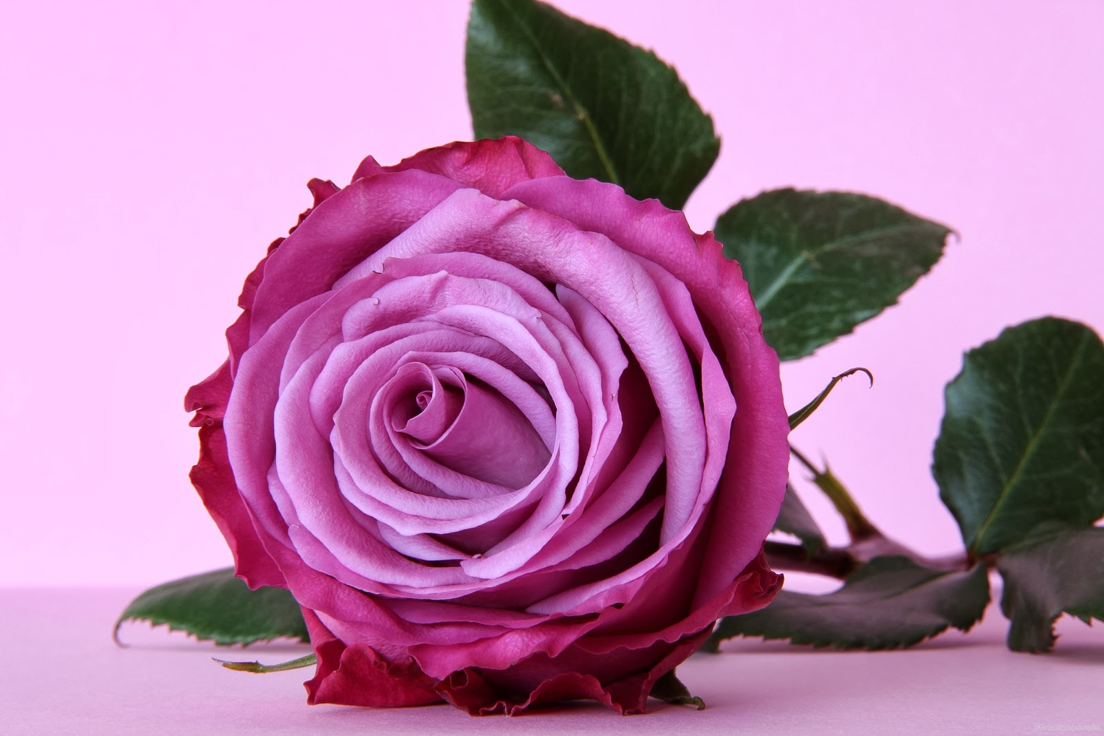 Pink And Purple Rose Wallpapers
