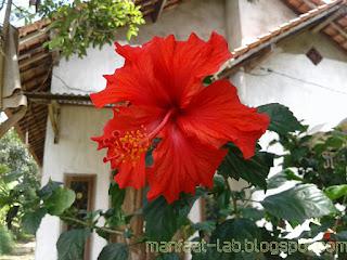 bunga sepatu merah