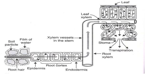 Mech anism2 - पौधों में परिसंचरण तंत्र की क्रियाविधि