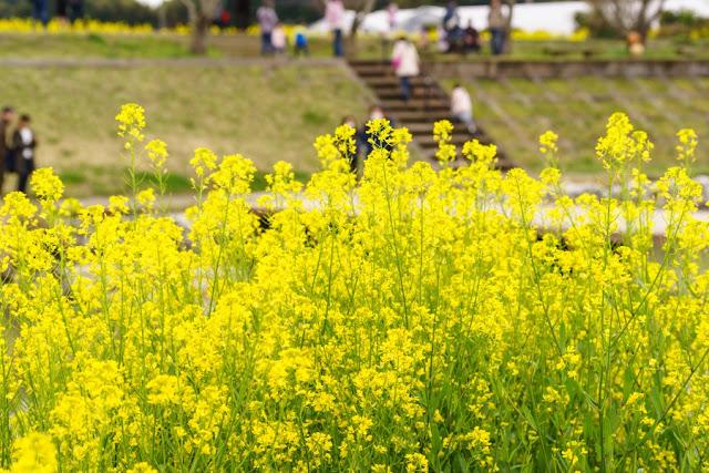 菜の花~道の駅・とみうら枇杷倶楽部