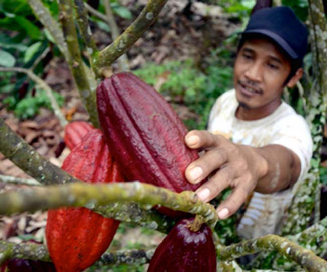Petani kakao sedang meriksa buah hasil kebunnya. Kakao dari Asahan terkenal sebagai kakao terbaik nomor 3 di Dunia.