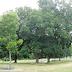 Historic Pecan orchard