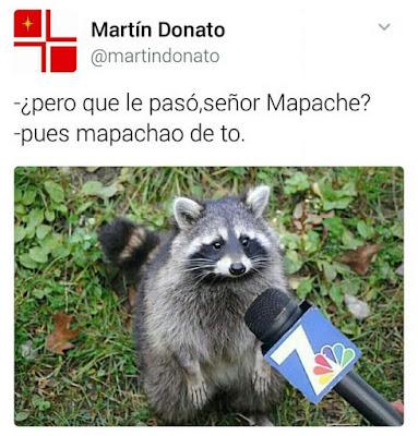 pero qué le pasó, señor Mapache?, pues mapachao de to