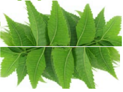Benefits of Neem for hair, skin and health How to use neem Can cure Breast Cancer