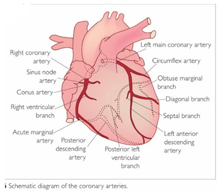Anatomy of an arteries in Heart