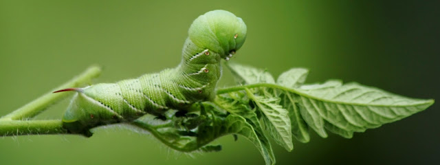 A Tomato Hornworm (which is Actually a Caterpillar that Turns Into a Moth Later in it's Lifecycle) dines on Live Tomato Foliage.  Depending on the Region You Are In, these pests May Be Quite Common and Destructive to a Tomato Crop.  BT, Spinosad and Pyrethrin Sprays Can be Quite Effective Natural Controls.