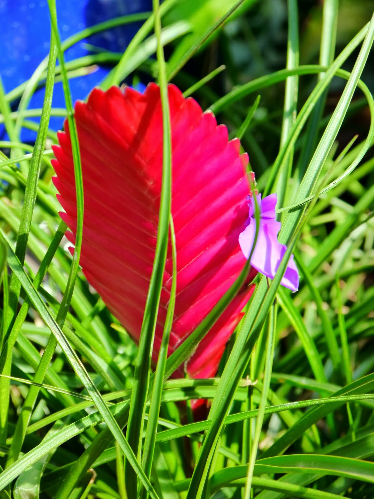 Tillandsia Cyanea Linden Ex K Koch: American Travel Journal: United States Botanic Garden