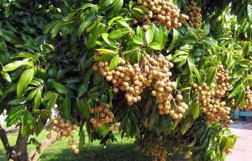 cara mengatasi pohon lengkeng tidak mau berbuah