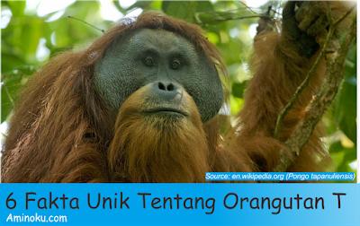 Fakta unik orangutan tapanuli