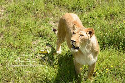 крым тайган, парк львов тайган, сафари парк тайган в крыму