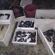 Jual Bibit Lobster