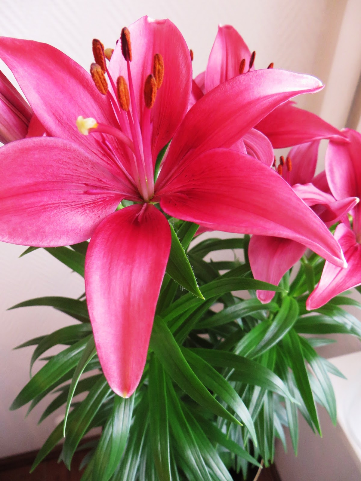 ruukkulilja, liljat, liljan hoito