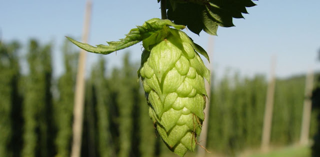 everything you need to know about hops