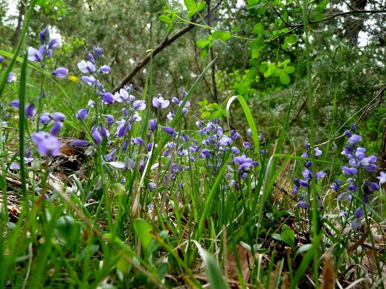 Fleur De Sous Bois Bleue acodero images: petite fleur des sous bois bleue