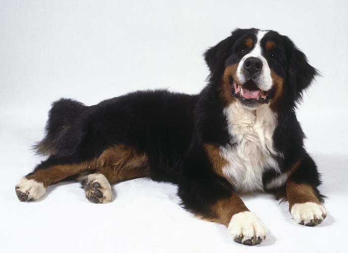The dog in world  Bern...