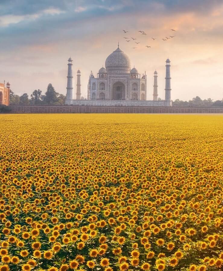 09-Sunflowers-and-the-Taj-Mahal-Robert-Jahns-www-designstack-co
