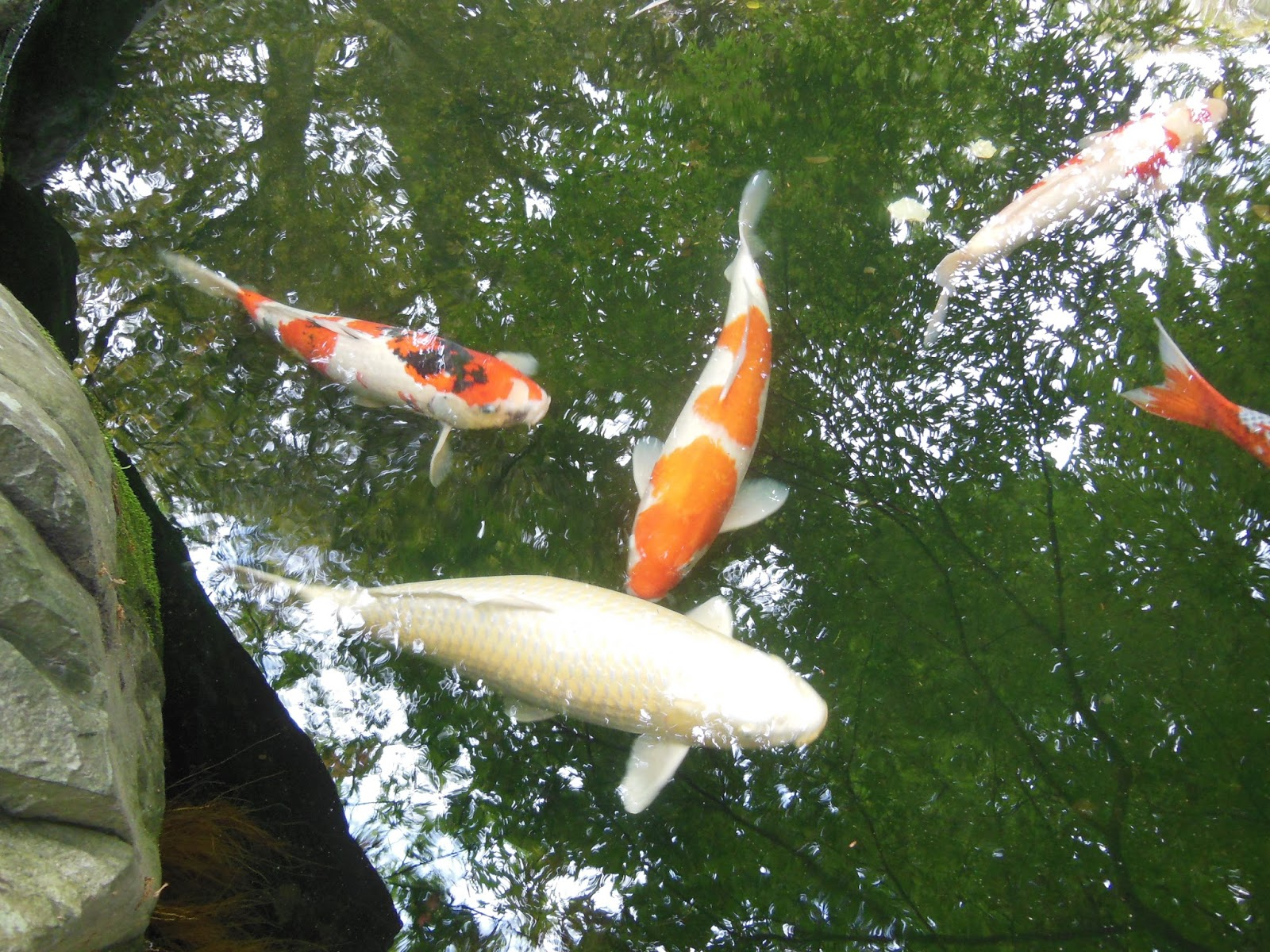 Daily Glimpses Of Japan Koi Fish