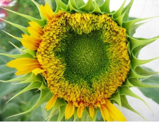 Sunflower-Wallpaper.1