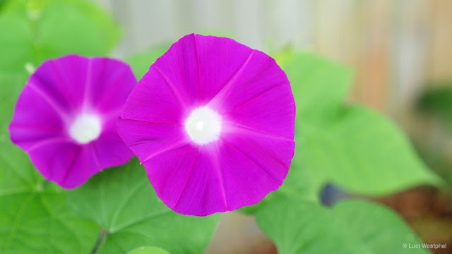 Pink Morning Glory: from seed to bloom in about four weeks!