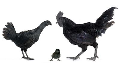 """""""Fakta Unik tentang Ayam"""""""