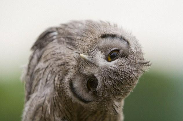 Fakta-Fakta menakjubkan tentang burung hantu yang jarang diketahui orang lain